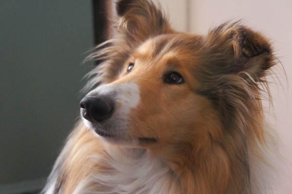 Hilma koira